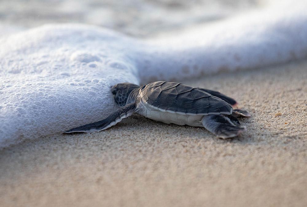 绿海龟(宝宝)2.jpg