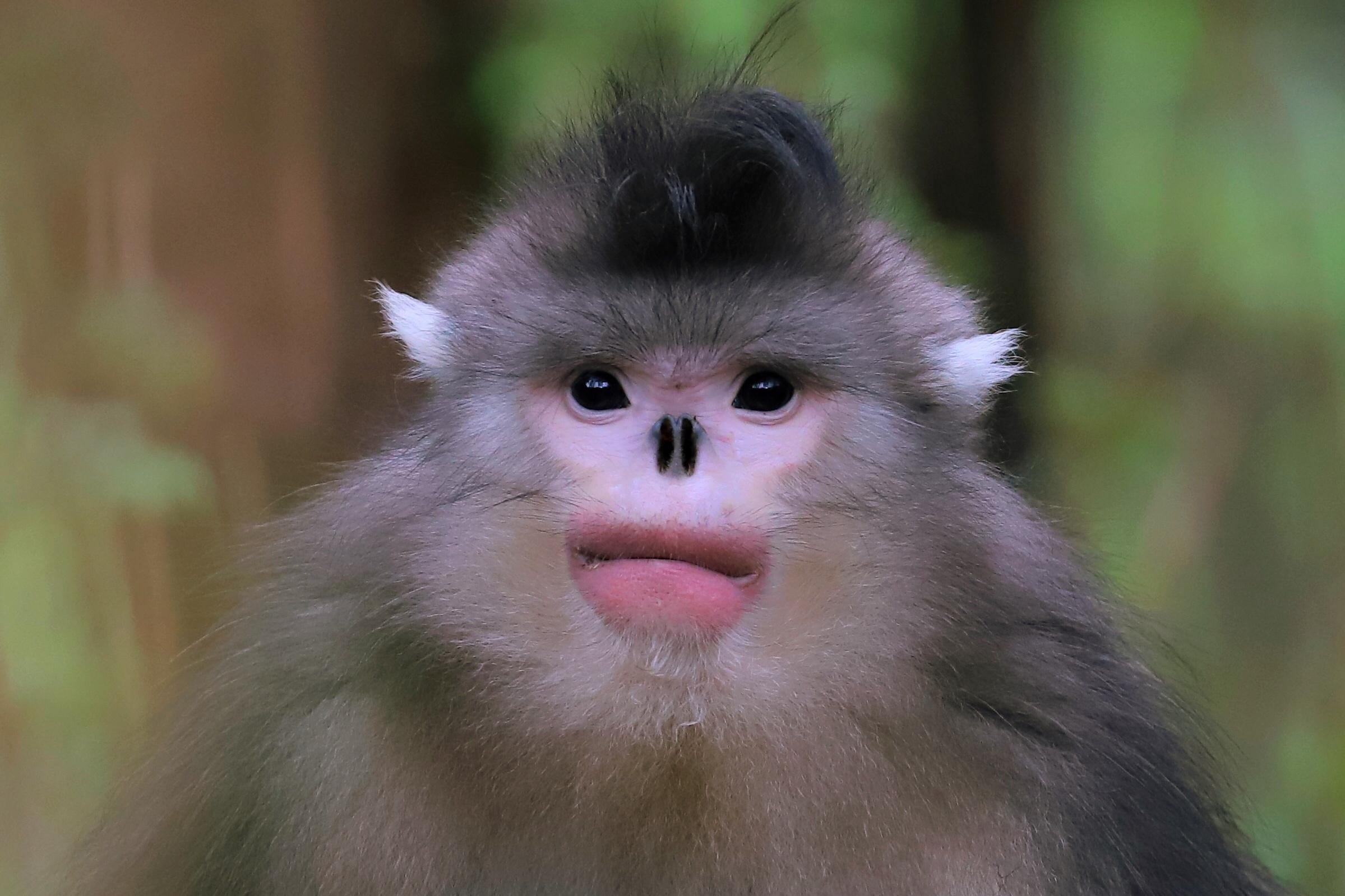 滇金丝猴(青年).jpg