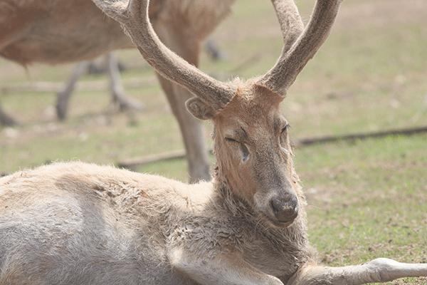 图25-雄性麋鹿.png